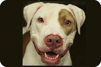 American Pit Bull Terrier Mix Dog for adoption in Bellevue, Washington - Ninja