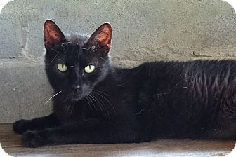 Domestic Shorthair Cat for adoption in Carencro, Louisiana - Jesse