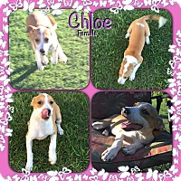 Adopt A Pet :: Chloe Adoption pending - Manchester, CT