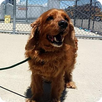 Cocker Spaniel Dog for adoption in Parker, Colorado - Corky 16-090