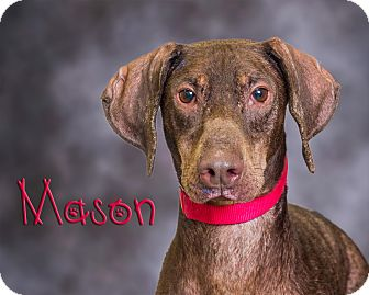 Doberman Pinscher Mix Dog for adoption in Somerset, Pennsylvania - Mason