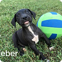 Adopt A Pet :: Bieber-1 of 11 pups - Olive Branch, MS