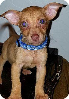 Chihuahua Puppy for adoption in Phoenix, Arizona - Zane