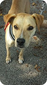 Labrador Retriever/Golden Retriever Mix Dog for adoption in Pompano beach, Florida - Andy