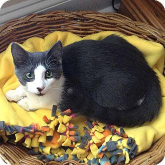 Domestic Shorthair Kitten for adoption in McCormick, South Carolina - Bruno