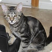 Domestic Shorthair Kitten for adoption in Toronto, Ontario - Tiger