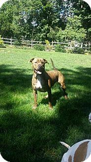 Pit Bull Terrier Mix Dog for adoption in Hamden, Connecticut - Tucker