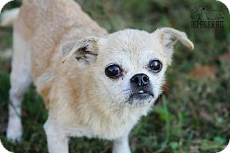 Chihuahua Dog for adoption in Troy, Illinois - Carlita