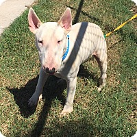 Adopt A Pet :: Lucky Eddie - Houston, TX