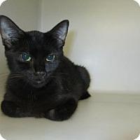 Domestic Shorthair Cat for adoption in Cumming, Georgia - Danica