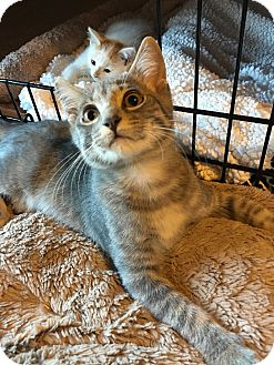 Domestic Shorthair Kitten for adoption in Fort Worth, Texas - Peter