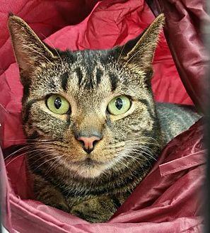 Domestic Shorthair Cat for adoption in Charlotte, Michigan - Minka