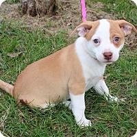 Adopt A Pet :: PUPPY BUTTERCUP BEE - richmond, VA