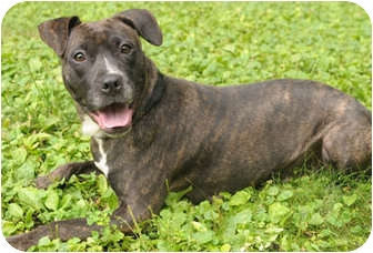 Plott Hound/American Pit Bull Terrier Mix Dog for adoption in Chicago, Illinois - Tallulah