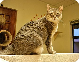 Domestic Shorthair Cat for adoption in Fountain Hills, Arizona - SAMI