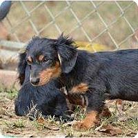 Adopt A Pet :: Dewey - New Boston, NH