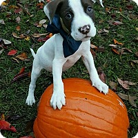 Adopt A Pet :: Sir Didimus meet me 10/31 - East Hartford, CT