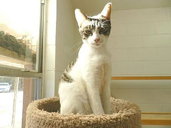Domestic Shorthair Cat for adoption in Ozark, Alabama - Justy