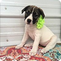 Boxer/Anatolian Shepherd Mix Puppy for adoption in Russellville, Kentucky - Marla