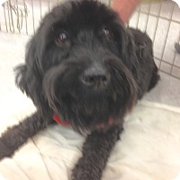 Poodle (Miniature)/Cocker Spaniel Mix Dog for adoption in Inverness, Florida - Black Beauty