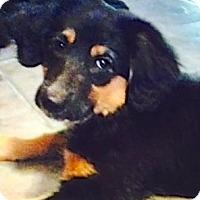 Adopt A Pet :: Tristena - Sparta, NJ