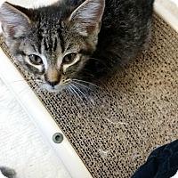 Adopt A Pet :: Astria - Chippewa Falls, WI