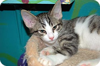 Domestic Shorthair Kitten for adoption in Lake City, Michigan - Kitten ID# 1799