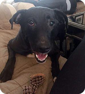 Labrador Retriever Dog for adoption in Detroit, Michigan - Maddie