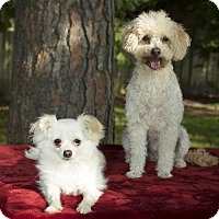 Adopt A Pet :: Candy and Carmelita--bonded honeys-S - Alvin, TX