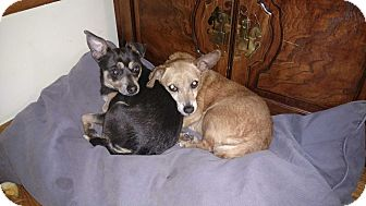 Chihuahua Mix Dog for adoption in Chicago, Illinois - Pearl & Onyx