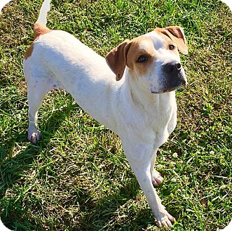 Boxer/Labrador Retriever Mix Dog for adoption in Russellville, Kentucky - Devin