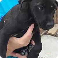 Labrador Retriever Mix Puppy for adoption in Southbury, Connecticut - Tara