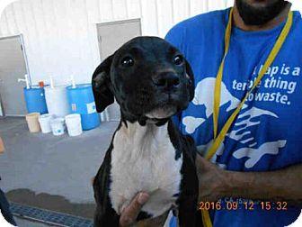 Boxer/Labrador Retriever Mix Puppy for adoption in Oroville, California - A570684