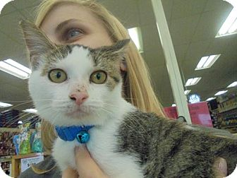 Domestic Shorthair Kitten for adoption in Livonia, Michigan - Cindy