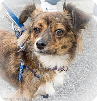 Sheltie, Shetland Sheepdog Mix Dog for adoption in Loudonville, New York - Balafar