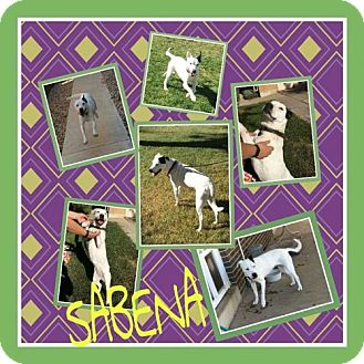 Dalmatian Mix Dog for adoption in Fort Collins, Colorado - Sabena