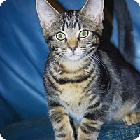 Domestic Shorthair Kitten for adoption in Noblesville, Indiana - Onyx