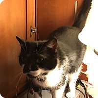 Domestic Shorthair Cat for adoption in millville, New Jersey - patches