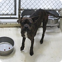 Boxer Mix Dog for adoption in Odessa, Texas - A16 Alma