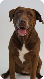 Labrador Retriever Mix Dog for adoption in Reno, Nevada - Luann