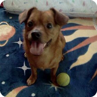 Yorkie, Yorkshire Terrier/Chihuahua Mix Dog for adoption in North Hollywood, California - Butters