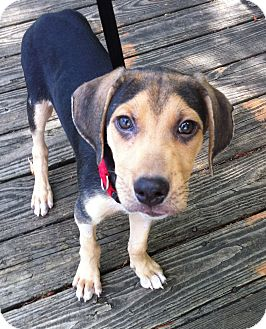 Treeing Walker Coonhound Mix Puppy for adoption in Plainfield, Connecticut - Chewy