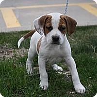 Adopt A Pet :: Bingo - Broomfield, CO