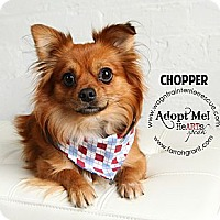 Adopt A Pet :: Chopper - Omaha, NE