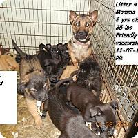 Adopt A Pet :: Corgi pups! *ADOPTED!* - Chicago, IL