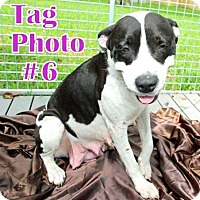 Labrador Retriever Mix Dog for adoption in Humble, Texas - TAG