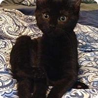 Adopt A Pet :: Sprinkles - Merrifield, VA