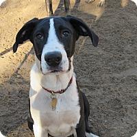Adopt A Pet :: Maverick - Raleigh, NC