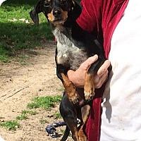 Adopt A Pet :: Finland - McKinney, TX
