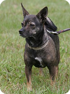Chihuahua Dog for adoption in North Fort Myers, Florida - Leali